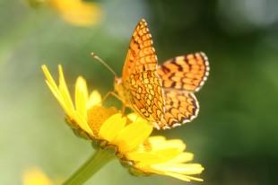 flor-borboleta1[1]